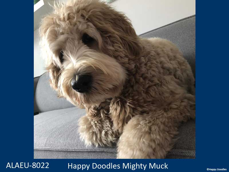 labradoodle-muck