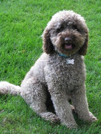 curly-labradoodle2