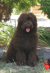 labradoodle-chocolate