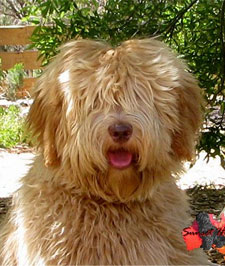 labradoodle-gold