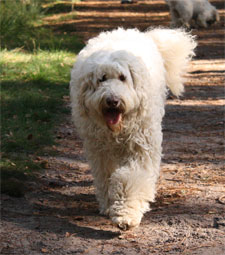 labradoodle-weiss