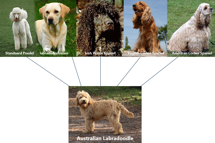 what-is-australian-labradoodle